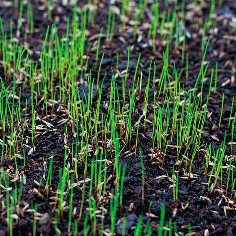 посевной газон сроки